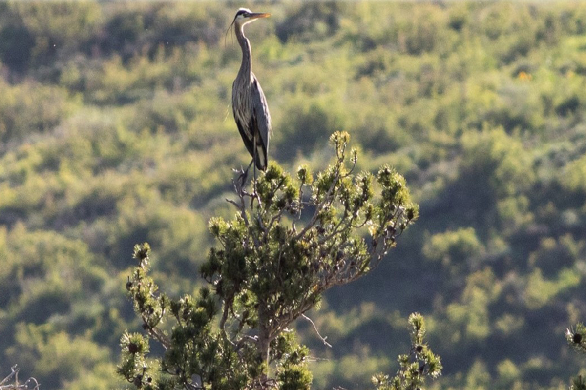 blue heron study